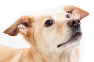 envelhecimento de cães