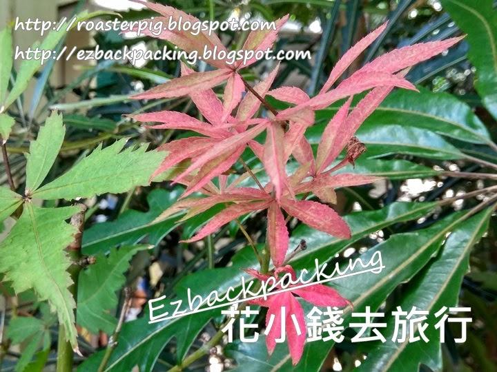 香港日本楓