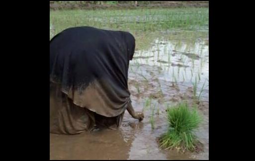 Foto Muslimah Hijab Syar'i Nanam Padi Berlumpur Kagumkan Nitizen
