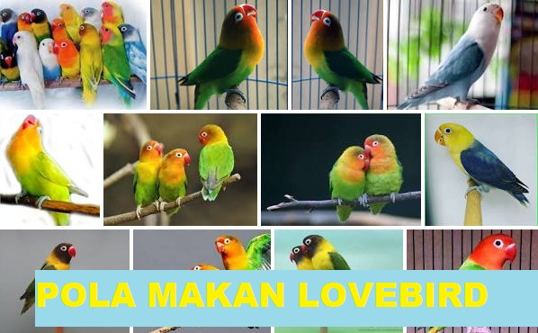 Ketahui Pola Makan Lovebird Agar Rajin Ngekek