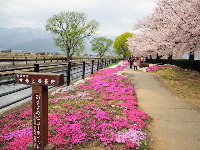 あづみ野やまびこ自転車道 拾ヶ堰 じてんしゃひろば 桜