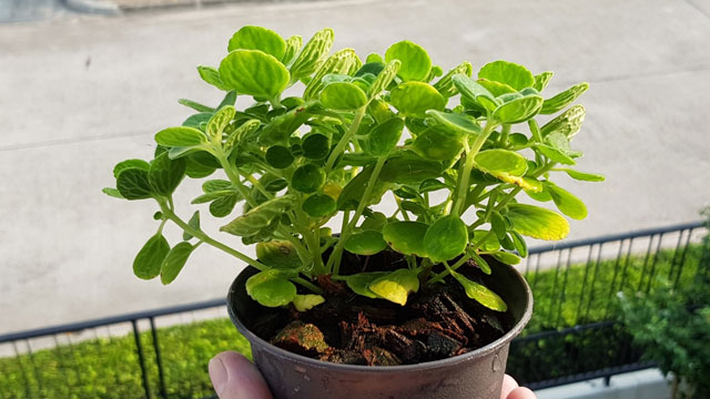 Vicks Plant