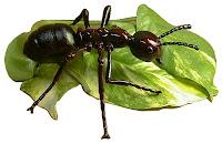 Hormiga Limonera