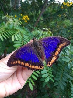 Mais uma espécie de borboleta rara no Estado de São Paulo é registrada no Legado das Águas