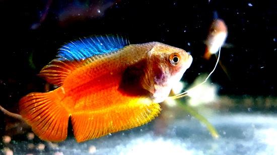 Top small community aquarium fish - Dwarf Gourami