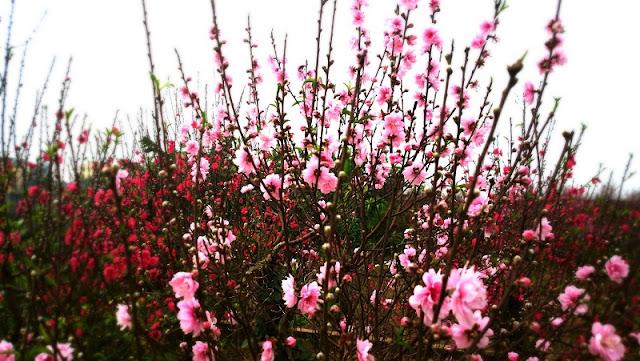The Unique Flowers of North Vietnam Spring 1