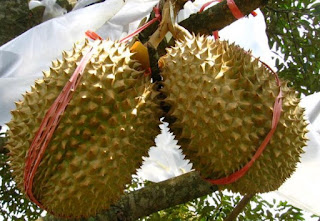 13 Manfaat Durian Montong Bagi Kesehatan
