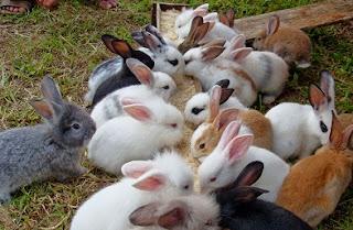 cara ternak kelinci anggora,kandang ternak kelinci,analisa ternak kelinci lokal,peternakan kelinci pedaging,kandang ternak kelinci pedaging,bisnis kelinci pedaging,