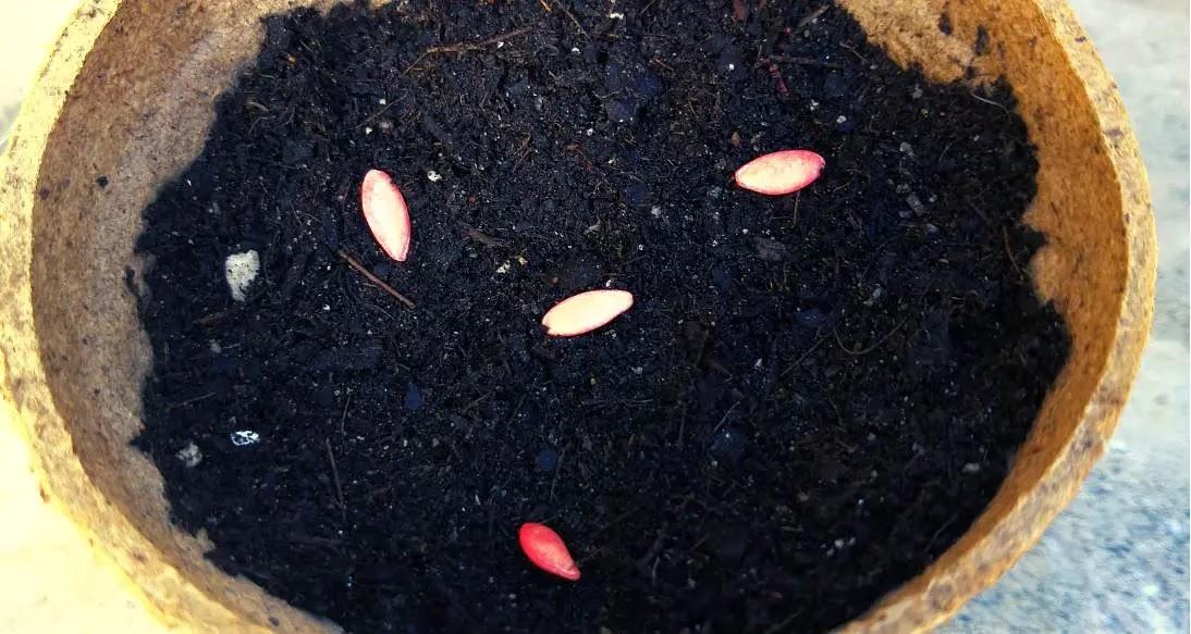 Experimento #1 Conociendo y sembrando semilla del pepino.
