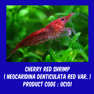 Jual Udang Red Cherry Neocaridina Denticulata Red Alam Ikan