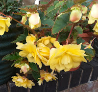 yellow flowers hanging over a wall