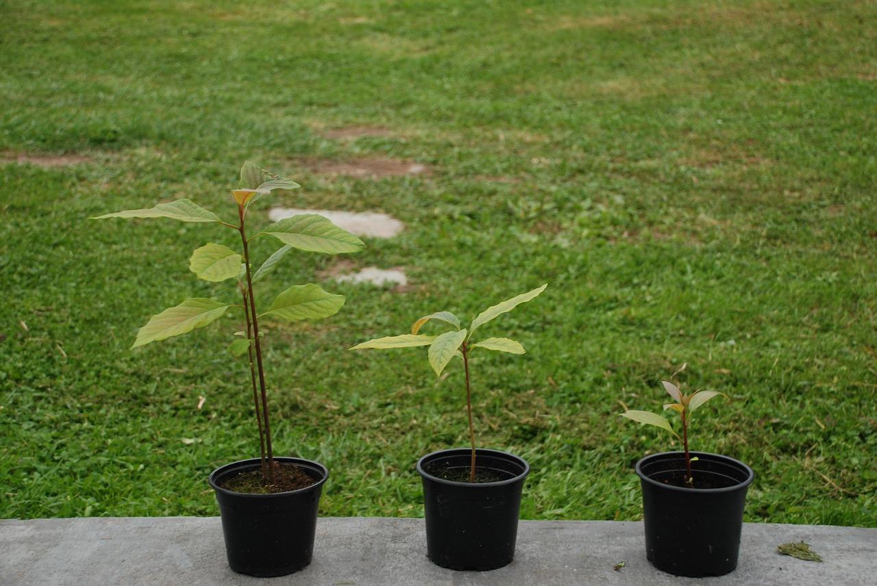 Growing indoor avocado
