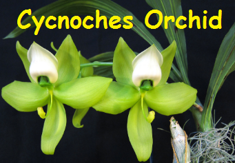 Cycnoches Orchid Flowers