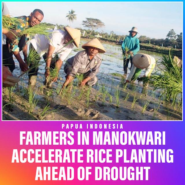 Farmers in Manokwari Accelerate Rice Planting Ahead of Drought
