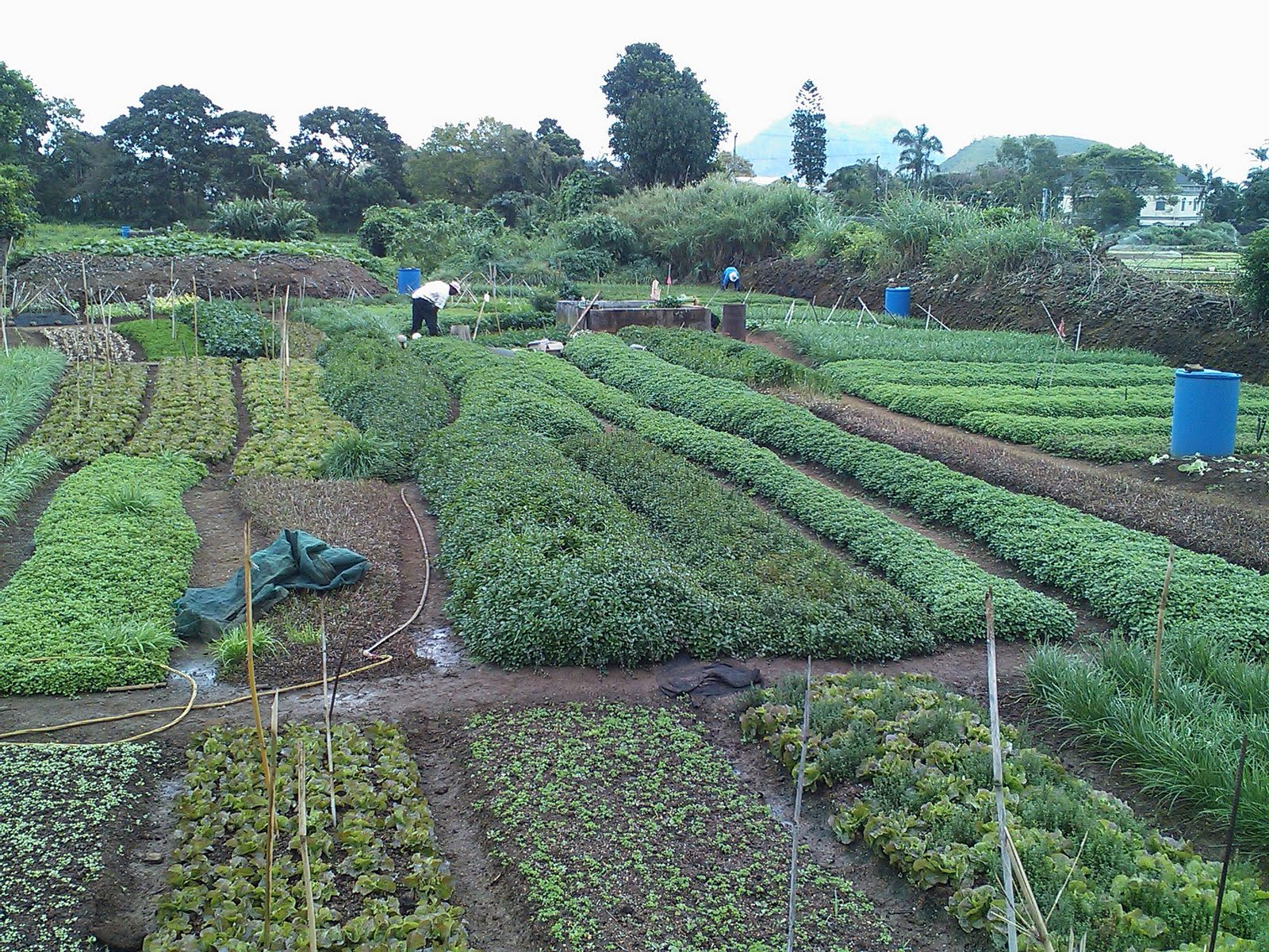 Food and agriculture in mauritius