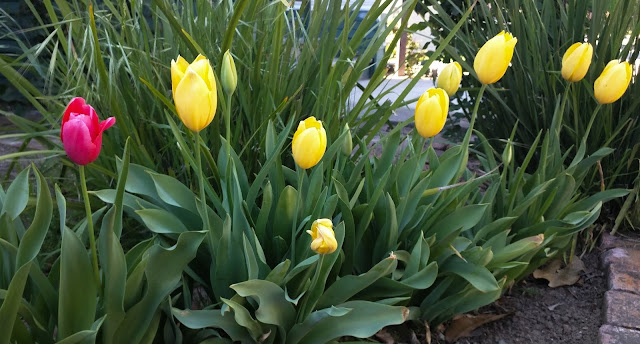 Yet another angle of the same yellow tulips and the violet tulip
