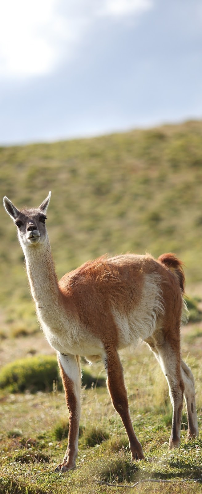 Picture of a guanaco.
