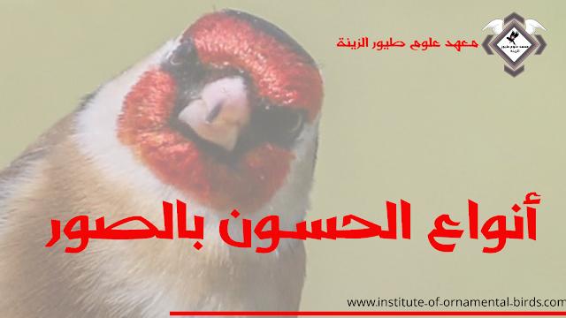 انواع طائر الحسون بالصور