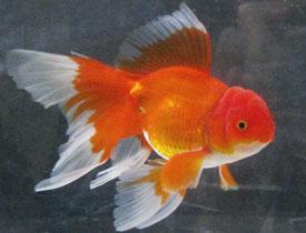 Jenis Jenis Ikan Mas Koki Dan Keunikannya Akuarium Mas Koki