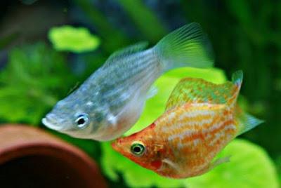 Menjodohkan Ikan Molly