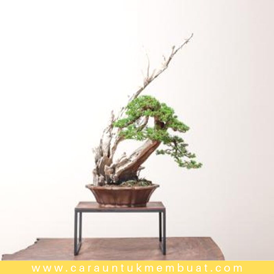 Bonsai Juniperus Chinensis Shimpaku 2