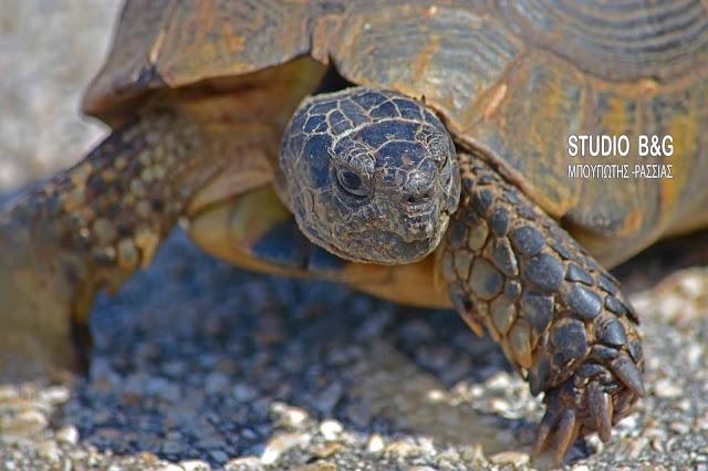 Η φωτογραφία της ημέρας: Γραικοχελώνα - Η χελώνα με copyright ...Ελληνικό!
