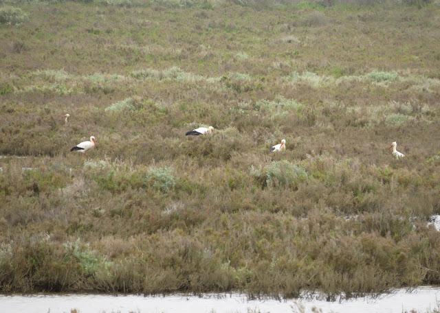 White Storks - Portugal
