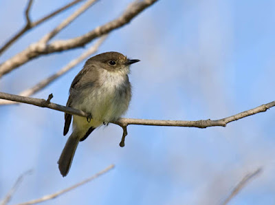 Photo of Eastern Phoebe on a tree branch