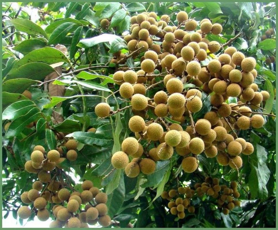 biji benih buah kelengkeng matakucing 5 seed Jawa Tengah