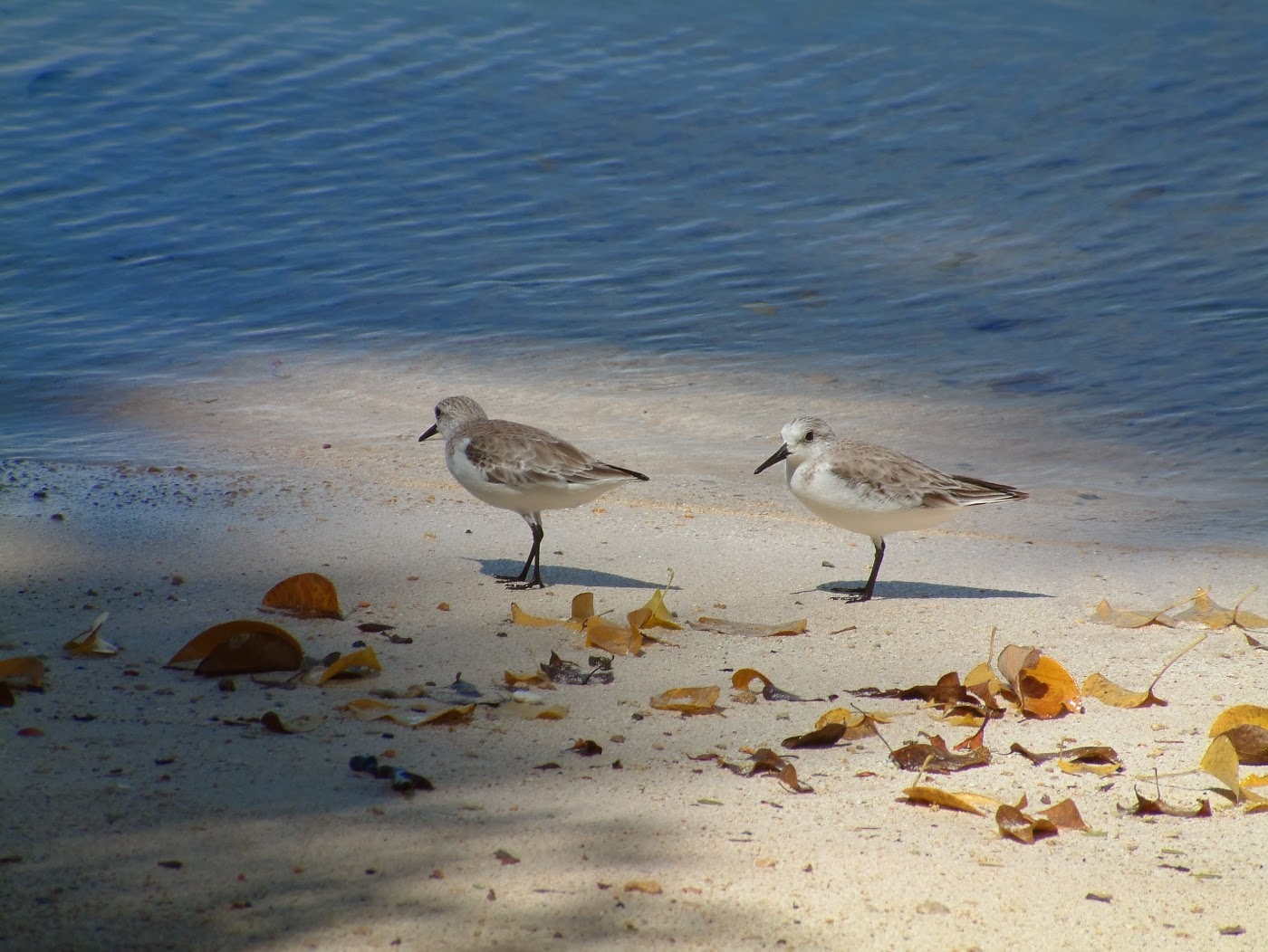 Migrant shorebirds - Sanderlings (Calidris alba) in Trinidad & Tobago