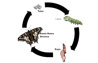 Kitaran Hidup (Metamorfosis) Rama Rama