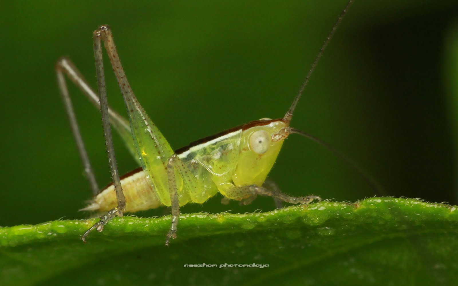 Green with black white lines cricket