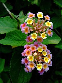 Lantana camera flowers