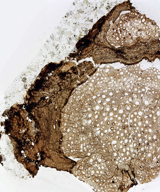 18.5 million year old vine fossil identified as new species