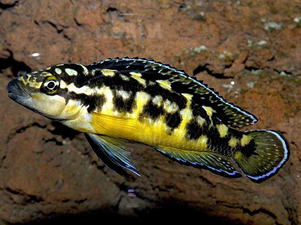 Yılan Cichlid Balığı Hakkında Bilgiler