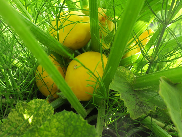 Yellow pattypan squash in the shade of the plant / leaves.