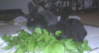 gambar Bolehkah kelinci makan ranting dan cabang pohon