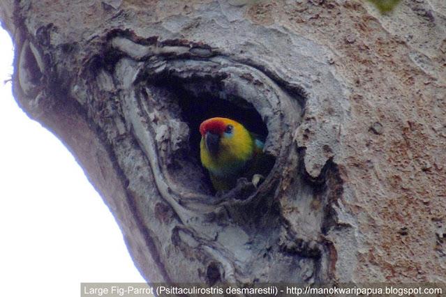 Large Fig Parrot (Psittaculirostris desmarestii) in the jungle of Klasow valley of West Papua