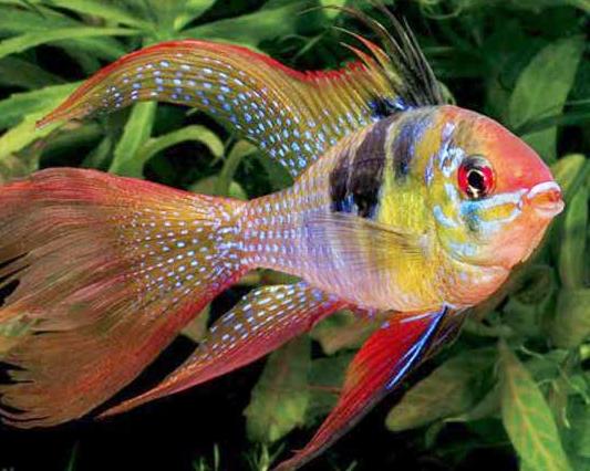 cá phượng hoàng được nuôi trong bể thủy sinh