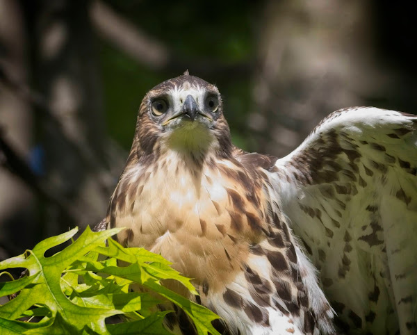 Tompkins Square red-tail fledgling 08