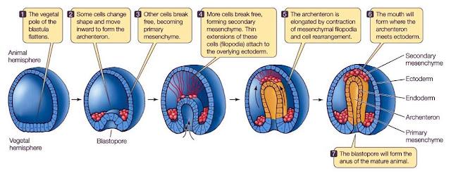terbentuknya anus