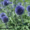 How to grow and care for Globe Thistle Plant