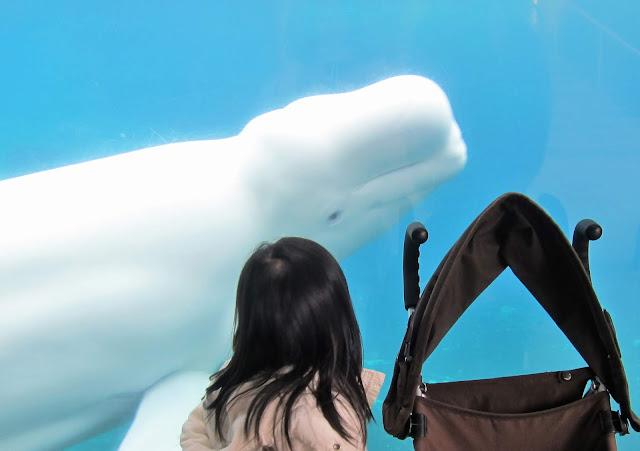 mystic aquarium connecticut beluga whale