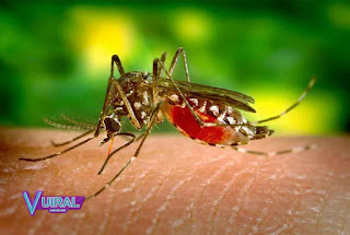 Contoh Hewan Insecta Nyamuk