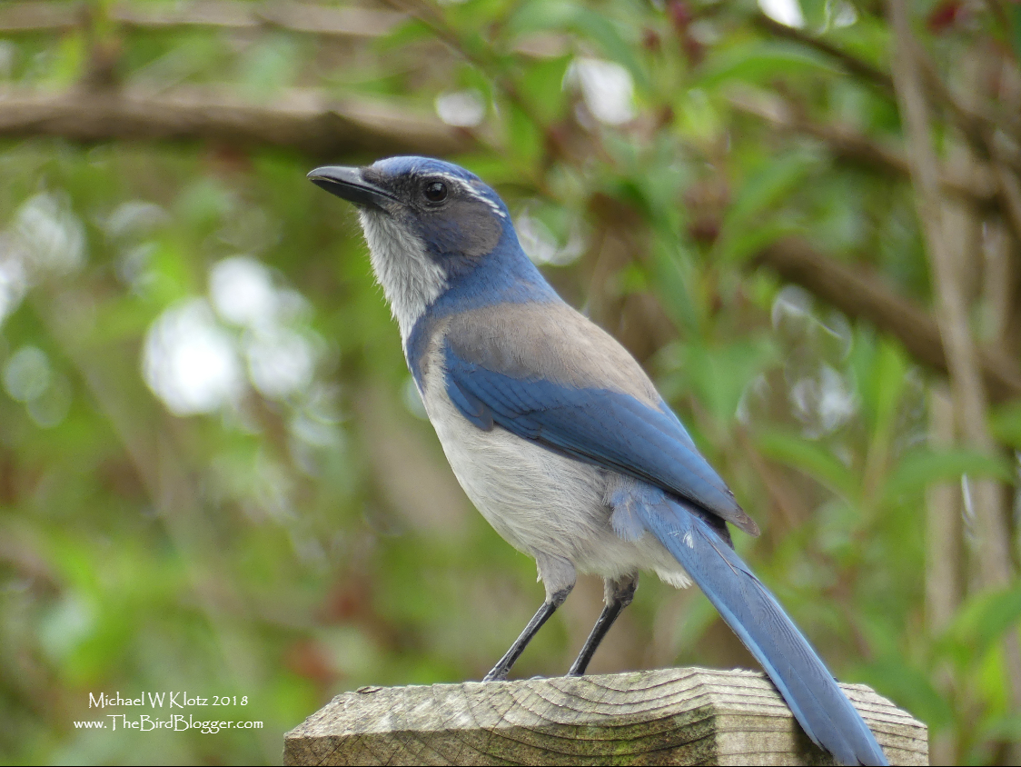 Taxi Maple Ridge >> BC Rare Bird Alert: Vancouver and Area, Fraser Valley and Sea to Sky