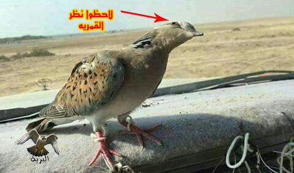 الناظور الخباصه - صيد الصقور  - falcon hunting