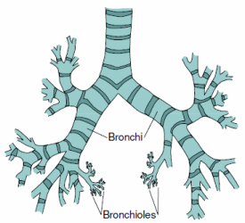 bronchi and bronchioles relationship advice