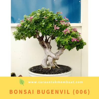 Bonsai Bugenvil (006)