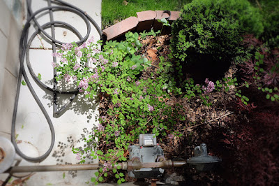 lilac bush sad
