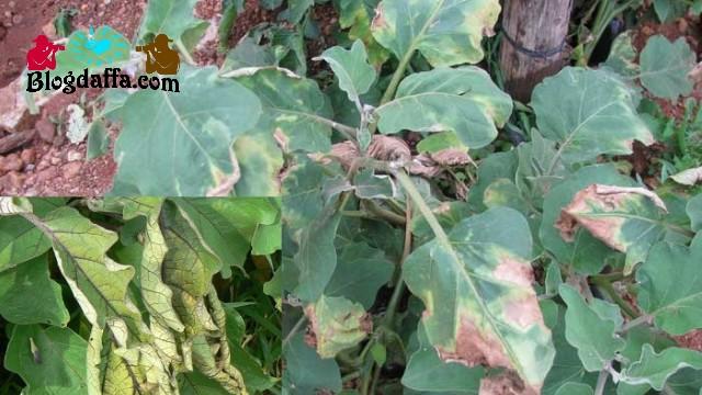 Jamur Fusarium